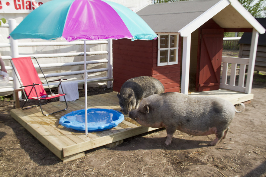 Ett gris-spa. Borde alla grisar ha...