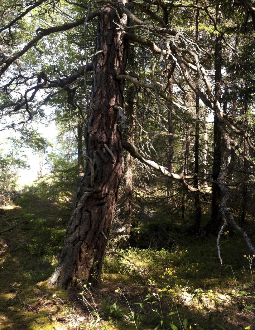 Knotigt träd på Limön