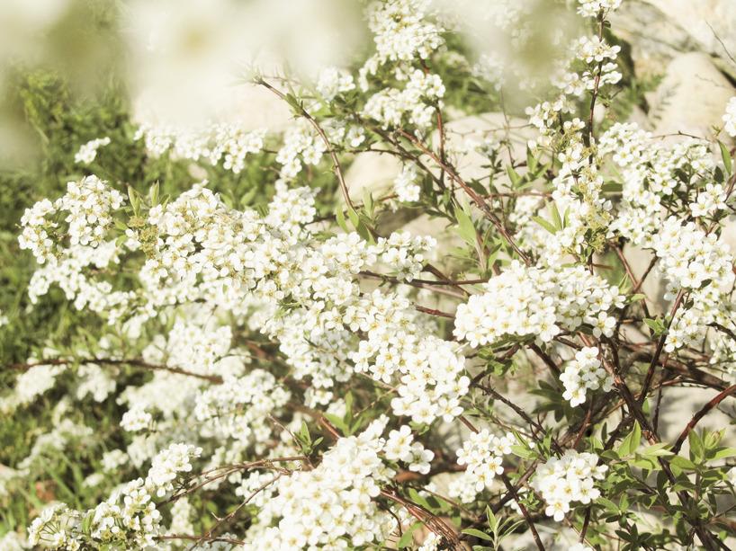 Buske i blom
