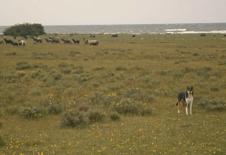 Törnskogens Euphoria TINDRA är med husse Peter på Öland - helt rätt miljö för en collie - Alvaret, havet, fåren - underbart!