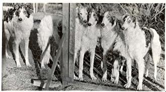Valpar och unghundar från 1950-talet