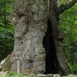 The thousand year old oak tree. Photo: Jonas Forell