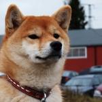 Roxy at puppyshow in Enköping