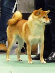 Roxy på Hund 2013 i Älvsjö