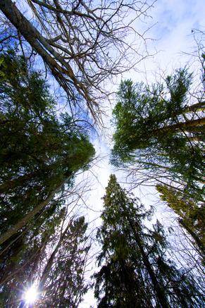 rebnis himmel och träd