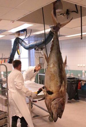 Tonfisken placeras på bordet med en kran. Vikten var 73 kg och standardlängden ca 1,5 meter.