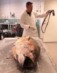 Bo Delling och tonfisken. Bild: David C. Bernvi.