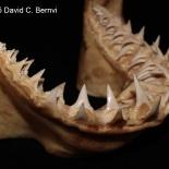 Underkäken från vithaj Carcharodon carcharias. Exemplar från KwaZulu-Natal Sharks Board, Durban, Sydafrika samlingar. David C. Bernvi.
