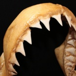 Överkken hos en vithaj Carcharodon carcharias. Exemplar från KwaZulu-Natal Sharks Board, Durban, Sydafrika samlingar. David C. Bernvi.