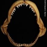 Käkar från sotfenad revhaj Carchahrinus altimus. Exemplar från KwaZulu-Natal Sharks Board, Durban, Sydafrika samlingar. David C. Bernvi.