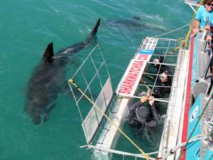 Vithajar simmar utanför hajburen. Bild: Marine Dynamics.