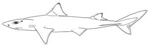 Piokhaj Squalus mitsukurii. En av 30 arter av pigghajar. Illustration: David C. Bernvi.