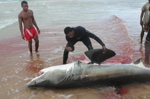 En lokal fiskare i Moçambique hugger av fenorna på en vithaj. För många fattiga fiskare i u-länder är hajfenor en viktig inkomstkälla.