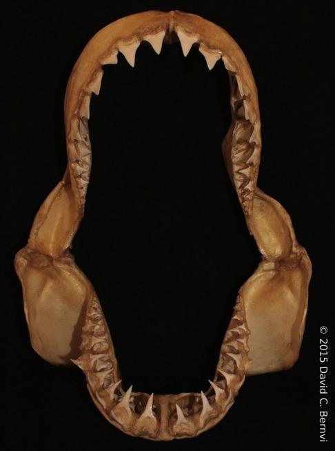 Käkarna från en vithaj som utvecklat breda tänder för att äta större bytesdjur. Bild: David C. Bernvi vid KZNSB.