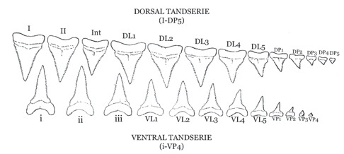 Käkhalva med två tandserier består av olika typer av tänder och delas in i tandgrupper. Tandgrupperna bildar tillsammans en tandserie i över- och underkäken. Det finns tre tandgrupper förutom i överkäken där även en ytterligare tandgrupp förekommer bestående av en ensam tand känd som intermediären (Int). Överkäkens tänder betecknas med D för dorsal och underkäkens tänder med V för ventral. I överkäken finns två anterialtänder, I och II och i underkäken tre i, ii, och iii. Därefter följer lateraltänder L1-L5 och slutligen posterialtänder P1-P5. Individuell variation förekommer. Illustration: Bigelow, H.B. & Schroeder, W.C. 1948. Fishes of the Western North Atlantic.