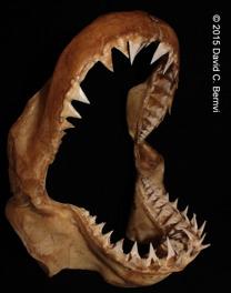Käkarna från en juvenil vithaj. Tänderna är smala och syllika hos juveniler lämpliga för att fånga fisk. Bild: David C. Bernvi vid KZNSB.