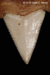 De sågkantade tandbladen är lämpliga för att skära genom flera typer av vävnadslager. Hos adulter är tänderna breda och anpassade för att skära loss köttstycken från bytesdjur. Bild: David C. Bernvi vid KZNSB.