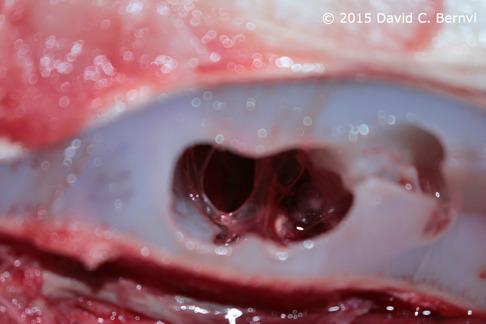 Örat ligger djupt inne i huvudet vid sidan av hjärnan i broskskelett. Här kan man se delar av örat efter det att ovandelen av kraniet skurits bort. Bild: David C. Bernvi vid KZNSB.