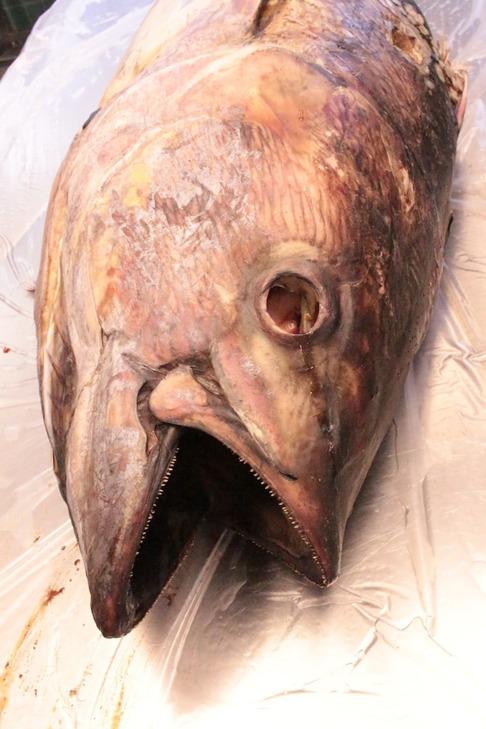 Huvudet utgör en stor del av tonfisken. Bild: David C. Bernvi från NRM.