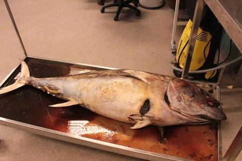 En öppning på högersidan av fisken. Bild: David C. Bernvi.