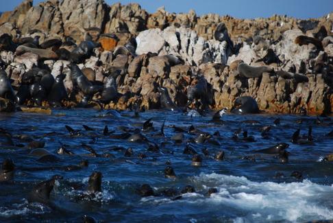 Sydafrika utgör ett optimalt habitat för vithaje eftersom stora mängder pälssälar förekommer på små öar. Detta ökar chansen för vithajen att fånga bytesdjur. Dyer Island och Greyser rock utanför Gansbaai. Bild: David C. Bernvi.