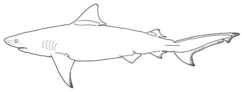 Tjurhaj är en av de vanligaste hajarterna i Texas. Illustration: David C. Bernvi.