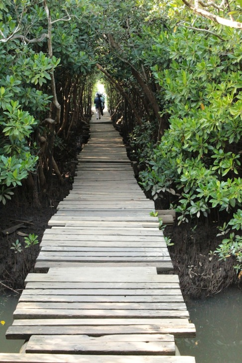 Vandringsled i mangroveskogen. Bild: David C. Bernvi.