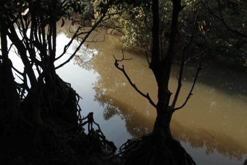 Mangroveskogen var ganska tät men krokodiler var sällsynta. Bild: David C. Bernvi.