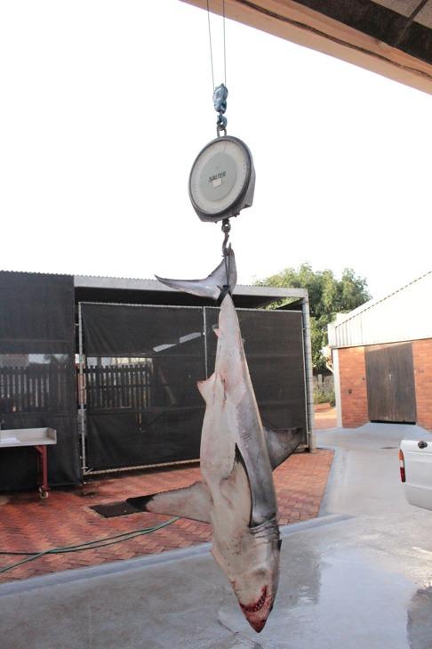 Vithajen vägs genom att använda en kran. Eftersom hajarna kan vara mycket stora är det inte möjligt att lyfta dem för hand. Denna vithaj var ca 2,5 meter lång och vägde 150 kg. Jag borde kanske ha ställt mig bredvid för att visa hur stor vithajen var. Bild: David C. Bernvi vid KZNSB.