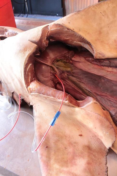 Här har jag placerat slangen in genom venosus sinosus ovanför det suprahepatiska organet. Det suprahepatiska organet är format i två lober med ett septum som separerar höger och vänstersida. På detta sätt kunde hjärtat förses med flytande latex efter genomspolning. Bild: David C. Bernvi.