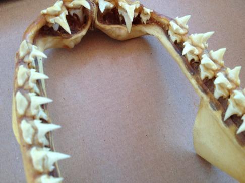 Närbild sillhaj, tänderna har två kuspar vid sidan av tandbladet vilket är en ursprungsform hos hajar. Sillhaj och laxhaj utgör en äldre grupp av hajar än den närbesläktade vithajen. Bild: David C. Bernvi.