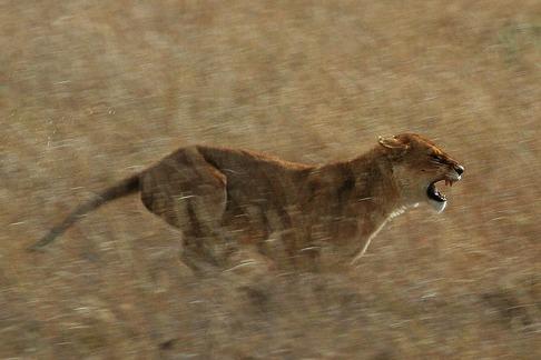 En lejoninna jagar sitt bytesdjur. Bild: Schuyler Shepherd.