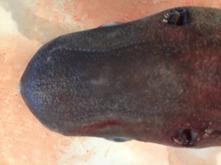 Blåshålen är stora och sitter bakom ögonen på ovansidan. Detta visar att hajen simmar långsamt och troligen utmed bergsskrevor och mycket nära botten. De Lorenzinska ampullerna på ovansidan av huvudet är kraftigt utvecklade och tyder troligen på att hajen även jagar det som finns ovan eller genomför vertikala migrationer upp och ned i vattenkolumnen. Bild: David C. Bernvi.