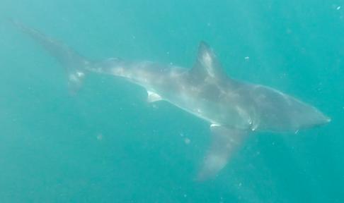 En vithaj kommer fram ur havsdjurpet. Den vita undersidan medför att hajen smälter in i havet. Bild: David C. Bernvi.