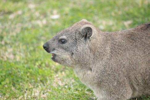Klippgrävling är ett gnagarlikande dägddjur som lever i bergen i Sydafrika. De är inte nära släkt med gnagare utan elefanter, det kan man inte tro. Bild: David C. Bernvi.