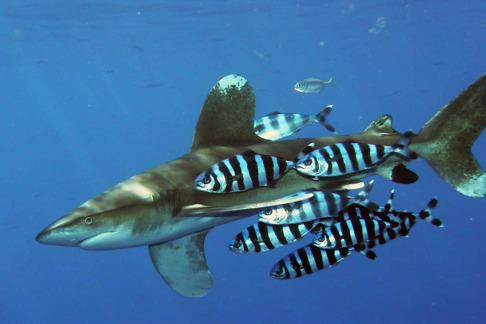 Årfenhaj eller vitfenad ocenhaj som den också kallas uppvisar två genetiska populationer i Atlanten. Bild: Peter Koelbl http://www.peter-koelbl.de