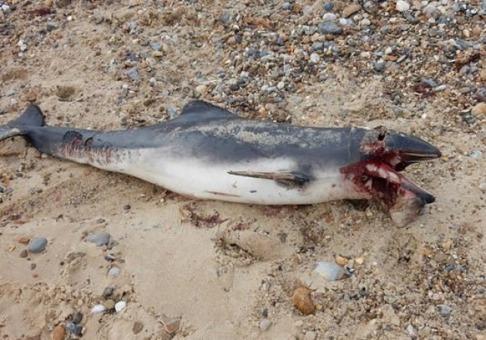 En död tumlare hittad vid Happisburgh utan uppenbara tecken på anfall av vithaj. Bild:: Twitter/@NorfolkToo