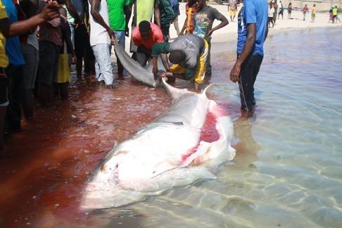 Stjärtfenan och övriga fenor skärs av för att bli hajfensoppa. Bild: Edson Edson F Geremias.