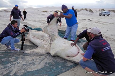 Vithajen var 4,9 meter lång och den största som dissekerats i Sydafrika. Späckhuggarna tycks ha blivit leverätare på vithaj, vad jag kallar hepatovorer. Bild: Marine Dynamics.