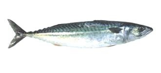 Kalan savustaminen - makrilli