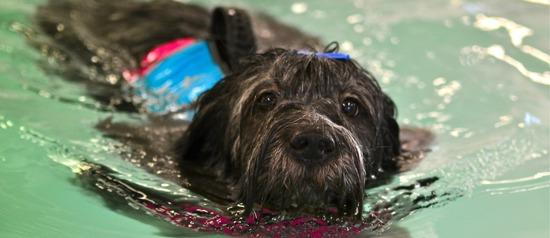 rehab hund, simning hund