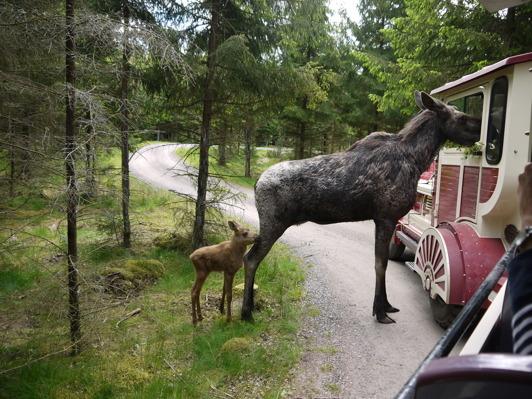 Smålandet Älgpark i Markaryd är nog Sveriges bästa .  Åk safaritåg eller kör egen bil.