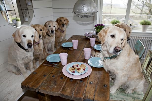 Hanna Nilsson utanför Halmstad ger sina hundar plättar varje helg vid matbordet, väldigt fina hundar.