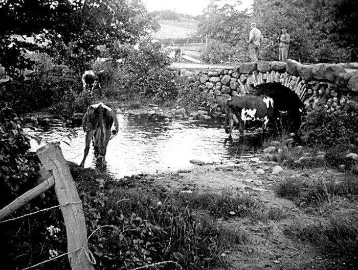 """B. 9 (1) Bro och bäckavad för kreaturen. Bild från 1938. Efter att """"Nya vägen"""" byggdes och var klar 1870 skapades så småningom en avfart till Ljungstorpsvägen just nere i dalen, nästan mitt för hemmanet Sten. Här den Gamla Fermabron vid avtagsvägen upp till Ljungstorp. Fermabron och Fermagatan har troligen fått sina namn efter korpralen Ferm, som bodde i Vadet. Innan bron byggdes fanns här enbart ett vad för kreatursfösning till Sydbillingen. Bron revs och byggdes om på 1950-talets början. Försvann helt i samband med att bäcken flyttades då nya väg 49 byggdes 1958. Männen på bron är Arvid Bäckström, Bäcktorp, död 1946 och David Johansson, Slottet, död 1970. Korna har varit på skogsbete på Sörberget och tas här hem för natten. Foto och uppgifter Nils Lann, Ljungstorp-Varnhem. Insatt av Kent Friman, 2014-02-25."""