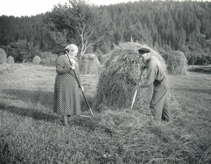 C. 21 Höskörd i Björkedalen i slutet av 1940-talet. Erik Lann, född 1890 och Anna Lann, född Svensson 1893. Insatt av Kent Friman, 2014-02-26. Läs mer på www.ljungstorpshistoria.se!