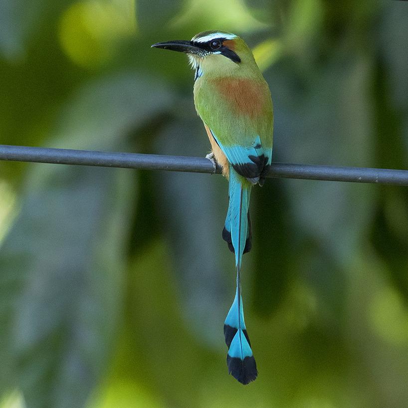 En av den costarikanska regnskogens många vackra fåglar; Turquoise-browed Motmot.