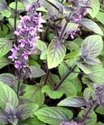 "Basilika - Blue Spice, ""Lavendel"""