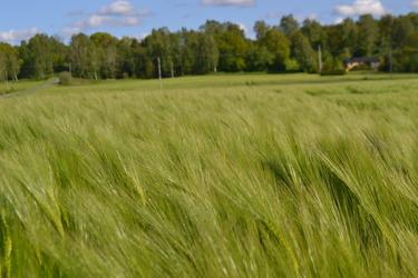 Höstkornfält. Foto: Caroline Persson