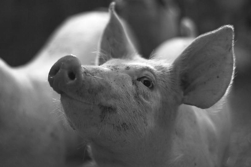 En av våra goa glaa grisar på Vik Gård. Foto: Marcus Helmer Gustafsson