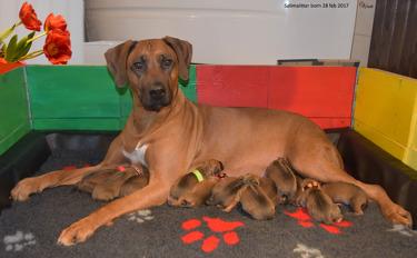 Sihiri med sina 14 nyfödda valpar